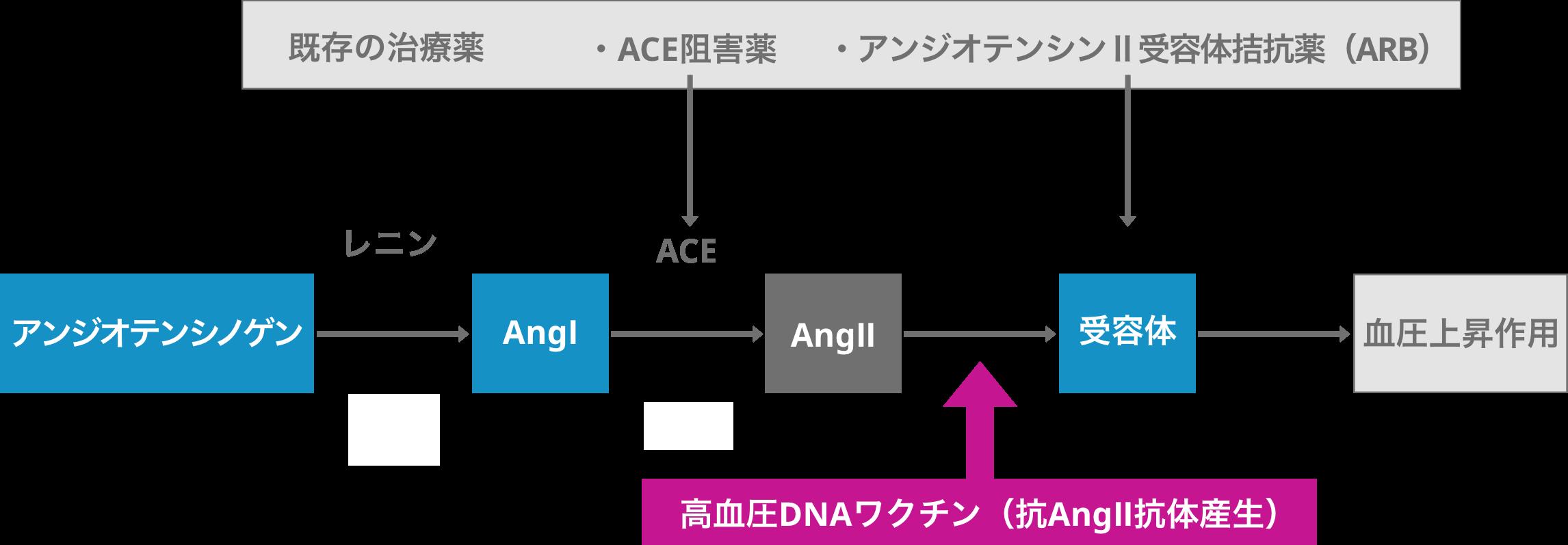 Ace 受容 体